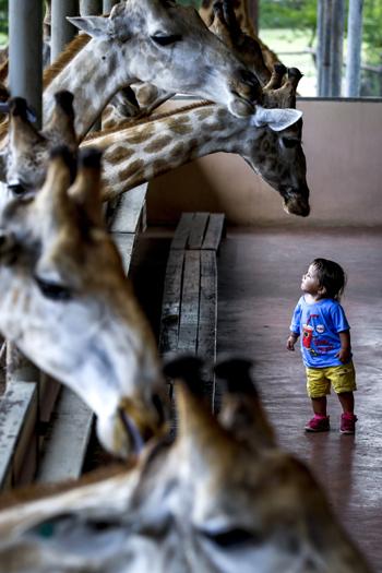 5月27日,在泰国曼谷野生动物园,一名儿童好奇地望着长颈鹿.