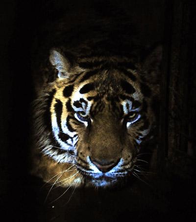 沈阳森林野生动物园11只东北虎陆续死亡