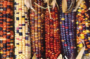 美国 转基因玉米/资料图片...