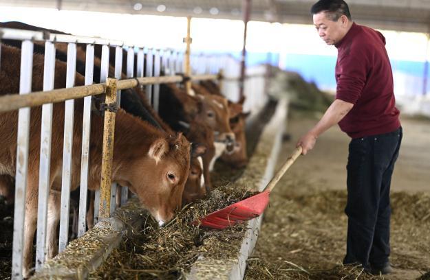 廣西柳城:甘蔗葉深加工變廢為寶助增收